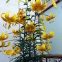 Lilies_4_006
