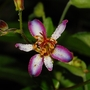"""Tricyrtis """"Taipei Silk"""" (Tricyrtis formosana (Toad Lily))"""