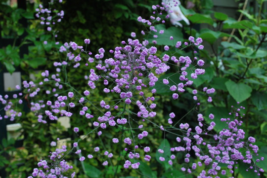 Thalictrum.... (Thalictrum delavayi (Meadow rue))