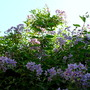 Solanum 'Glasnevin' and the blue evening sky (Solanum crispum 'Glasnevin')