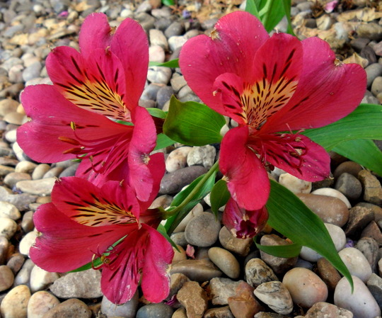 Alstroemeria 'Purple Rain' for Karensusan (Alstroemeria 'Purple Rain')