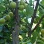 Apple pear (Pyrus pyrifolia)
