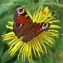 Peacock butterfly (Inula hookeri)