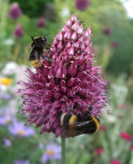 Allium and bees (Allium sphaerocephalon (Round-headed leek))