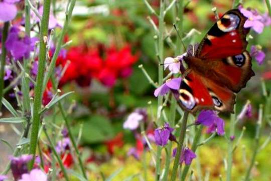 Peacock Butterfly and Wallflower