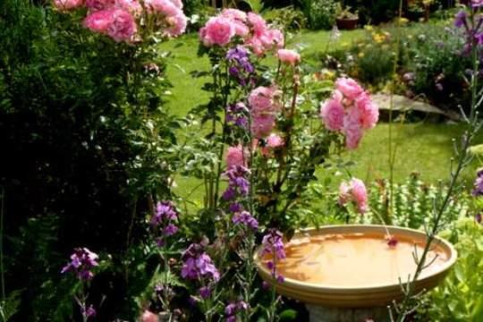 "Pretty ""Hilda Ogden"" Patio Rose"