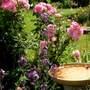 Pretty "Hilda Ogden" Patio Rose