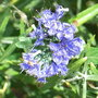 Caryopteris_x_clandonensis_first_choice_