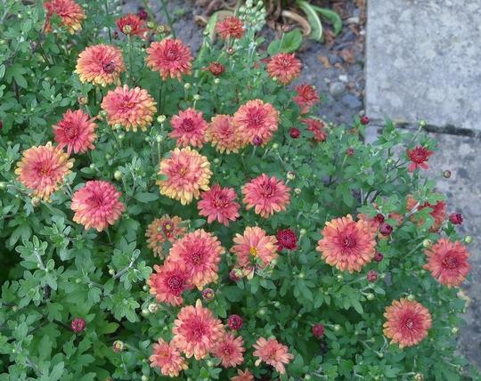 Chrysanthemum 'Rosy Igloo' - 2013 (Chrysanthemum)