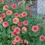 Chrysanthemum_rosy_igloo_2013