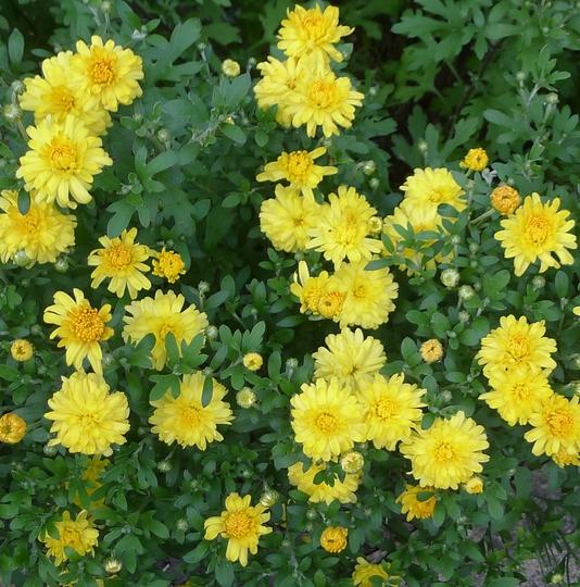 Chrysanthemum 'Golden Igloo' - 2013 (Chrysanthemum)