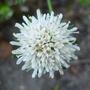 Knautia_arvensis_f._albiflora_2013