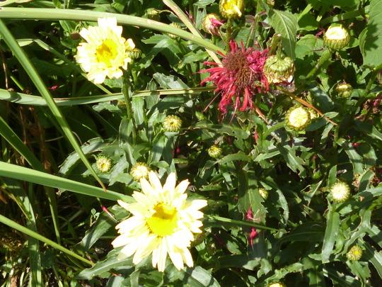 soft yellow leucanthemum (Leucanthemum maxima 'Broadway Lights')