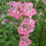 Penstemon tubular bells 'Rose' (Penstemon 'Tubular bells Rose')