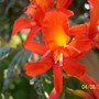 Crocosmia 'Cascade seedling 1 Red'