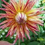 Unknown Dahlia