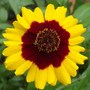 Coreopsis small tall red
