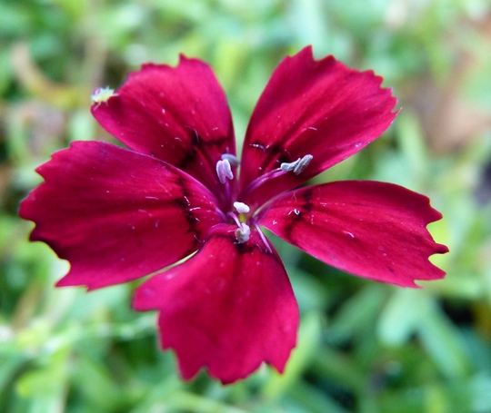 For my records...dianthus 'Flashing Light'