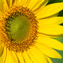 Sunflower_1