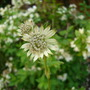 Astrantia - unknown variety
