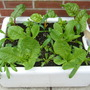 Salad in the sink (Beta vulgaris (Cicla) (Swiss chard))