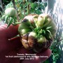 Tomato 'Marmande' 1st fruit deformed with BER on balcony 25-07-2013