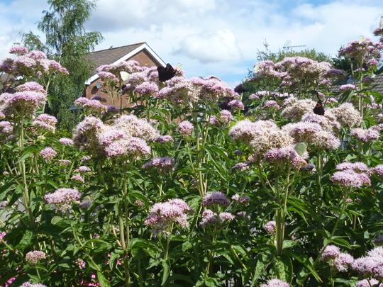 Eupatorium 'bee fest' (Eupatorium cannabinum)
