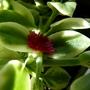 Aptenia (Aptenia cordifolia variegata)