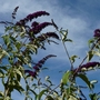 Buddleja 'Royal Red' (Buddleja davidii (Butterfly bush))