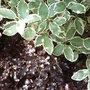 Pittosporum tenuifolium foliage (Pittosporum tenuifolium)