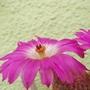 Echinocereus rigidissimus rubispinus