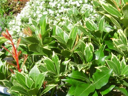 Pieris Japonica (Pieris japonica 'Carnaval')