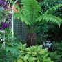 Tree Fern.......loving the rain. (Dicksonia antarctica (Soft tree fern))
