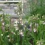 Epipactis palustris (Epipactis palustris (Marsh Helleborine))