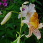 Pink tiger Lily with Butterfly
