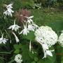 Acidanthera, Astilbe and Hydrangea