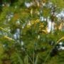 Nicotiana glauca (Nicotiana glauca (Don Juan))