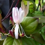 For my records...Lonicera japonica var. Repens (Lonicera japonica var. repens)