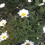 For Janey!! Look Janey, your Leucanthemum is flowering in Glamis Castle Walled Garden!