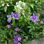 More Mingling...Hydrangea paniculata 'Kyushu', Erigeron 'Sea Breeze' and Clematis 'Bijou'