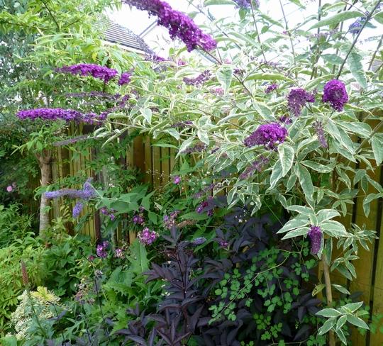 Buddleja 'Harlequin' (Buddleja davidii (Butterfly bush))