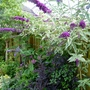 Buddleja 'Harlequin' (Buddleja davidii (Butterfly bush))