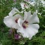 Hibiscus_syriacus_red_heart_2013