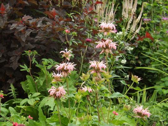 Monarda Croftway Pink (Monarda 'Croftway Pink')