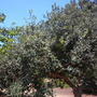 Acca sellowiana - Pineapple Guava, Feijao (Acca sellowiana - Pineapple Guava, Feijao)