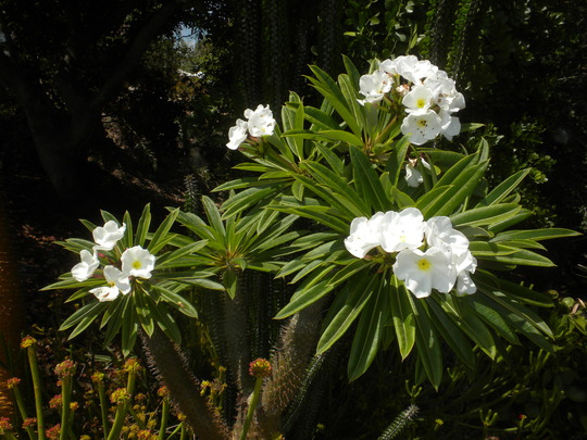 Pachypodium lamerei - Madagascar Palm Flowering (Pachypodium lamerei - Madagascar Palm)