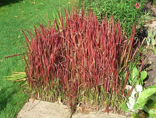 Imperata cylindrica grows on you - Imperata cylindrica red baron ...
