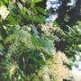 Wild Ocean spray (Holodiscus discolor (Creambush))