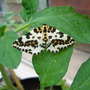Magpie moth (?)
