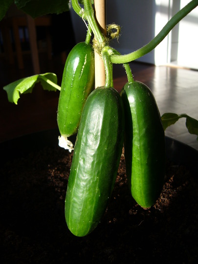 First cucumbers (back in June - had a few more since!)